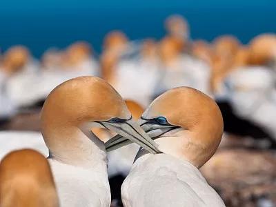 新西兰内皮尔塘鹅洲巡出国