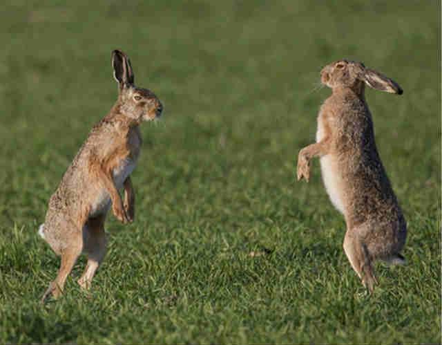 新西兰为什么要消灭野兔