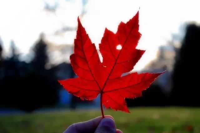 加拿大枫叶卡有什么用途?